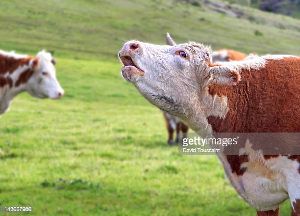 enough already! - cow mooing stock pictures, royalty-free photos & images