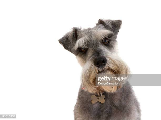 enquiring look from a schnauzer (xxxl) - animal head stock pictures, royalty-free photos & images