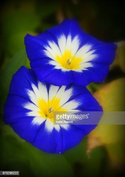 Ensign Blue Morning Glory