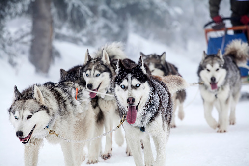 Enthusiastic team of dogs in a dog sledding race. 538327687
