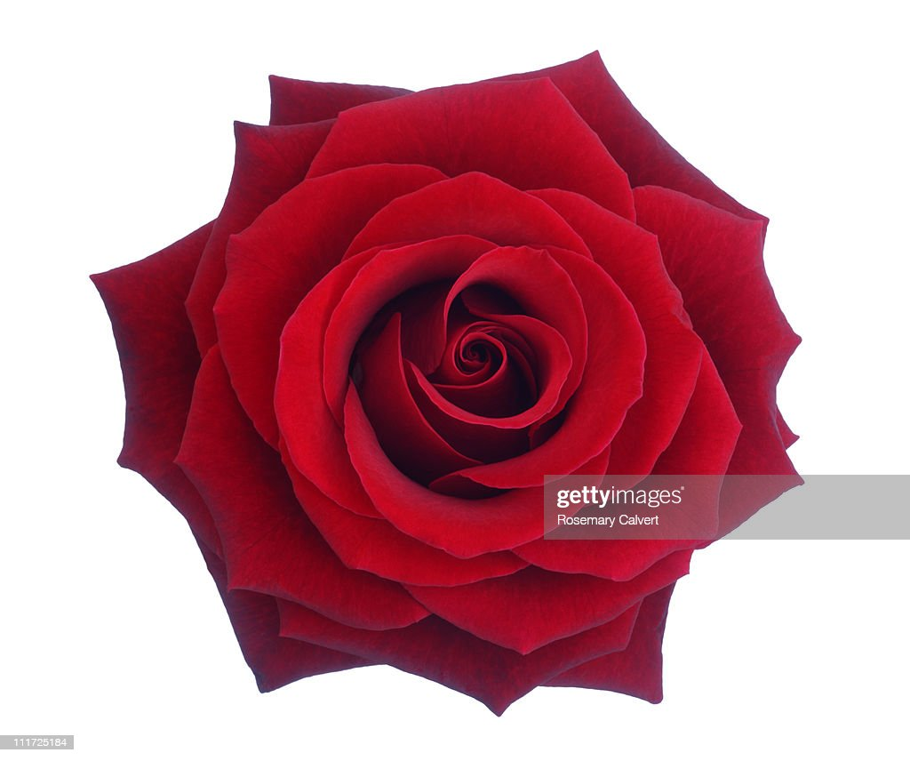 Entire deep red rose in close-up. : Stock Photo