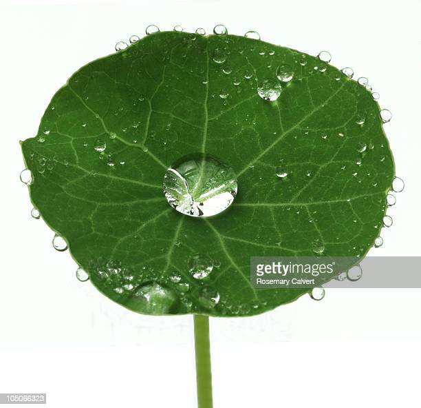 entire nasturtium leaf covered with water drops. - nasturtium stock pictures, royalty-free photos & images