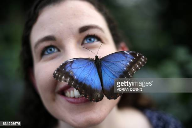 TOPSHOT Entomologist Anna Platoni poses for a photograph with a Blue Morpho butterfly perched on her cheek to mark the opening of Butterflies in the...