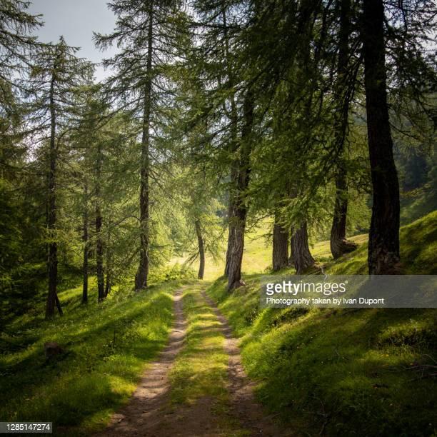entre les arbres - valle d'aosta foto e immagini stock