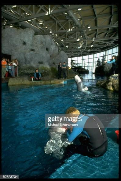 Beluga Whales At Shedd Aquarium. Greg Dye Working W. Puiji