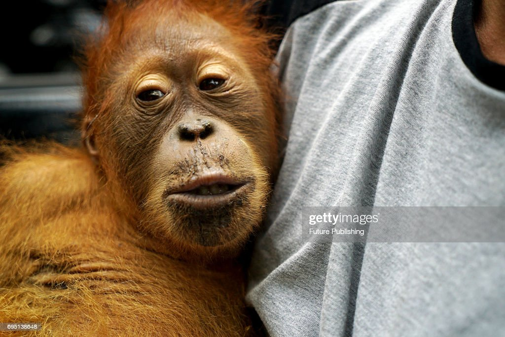 Environmental activists at 'The Human Orangutan Conflict Response Unit - Orangutan Information Center' (HOCRU - OIC) saves the Sumatran orangutan trapped in oil palm plantations on June 10, 2017 in North Sumatra, Indonesia, It is illegal to capture, kill, or keep orangutans as pets in Indonesia, prosecutions are rare and orangutan often meet this fate. Adult orangutan with her son is one of the 'lucky' that was saved by The Human Orangutan Conflict Response Unit - Orangutan Information Center (HOCRU - OIC) and taken to the forest Gunung Leuser National Park after being stuck on palm oil plantations. Sumatran orangutans (Pongo abelii) are a distinct species and listed as Endangered by the World Conservation Union (IUCN) on their Red List of Threatened Species. The Sumatran orangutan is considered the more immediately in danger of extinction, with only around 6,600 or so left in the wild today, and is therefore classified as Critically Endangered. The species is also listed on Appendix 1 of the Convention on International Trade in Endangered Species (CITES), under which animals smuggled out of their natural range country and confiscated should whenever possible be repatriated and returned to the wild. PHOTOGRAPH BY Jefta Images / Barcroft Images hello@barcroftmedia.com - +1 212 796 2458 +91 11 4053 2429