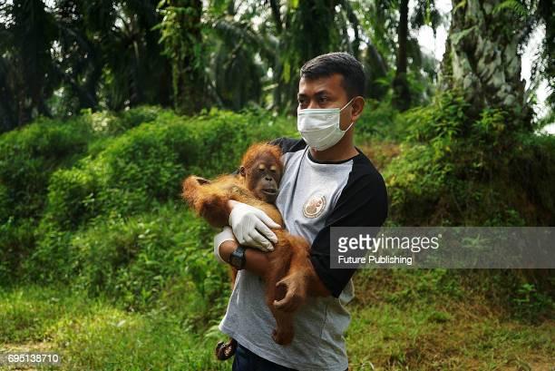 Environmental activists at 'The Human Orangutan Conflict Response Unit Orangutan Information Center' saves the Sumatran orangutan trapped in oil palm...