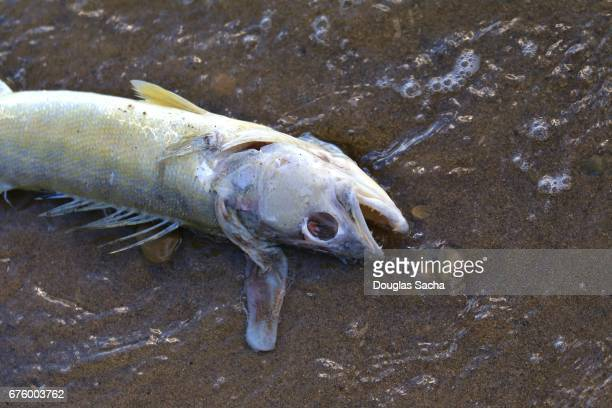 environmental disaster showing a dead fish washed up on the shore - fish skeleton stock photos and pictures