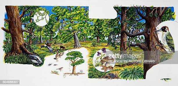 Environments and wildlife of a deciduous forest of Central Europe drawing