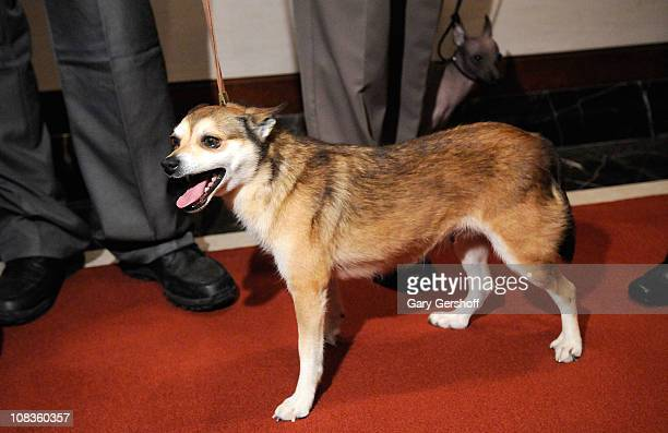 Eowyn a Norwegian Lundehund attends American Kennel Club Announces Most Popular Dogs for 2010 at American Kennel Club Offices on January 26 2011 in...