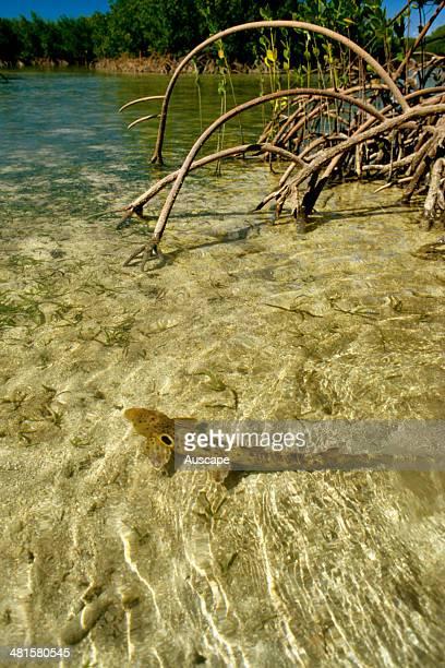 Epaulette shark, Hemiscyllium ocellatum, in mangrove area, Queensland, Australia