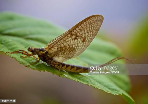 Ephemera vulgata on leaf