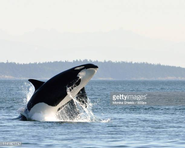 epic breach - killer whale stock pictures, royalty-free photos & images