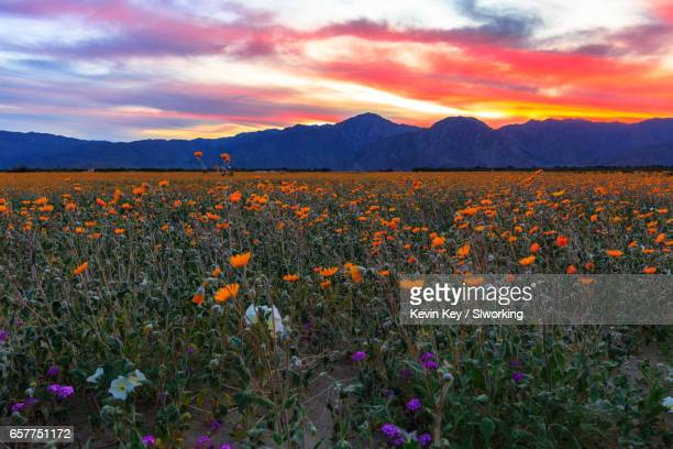 epic colorful sunset above anza-borrego desert wildflowers - anza borrego desert state park stock pictures, royalty-free photos & images
