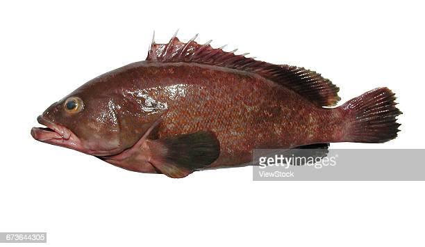 epinephelus akaara - grouper stock pictures, royalty-free photos & images
