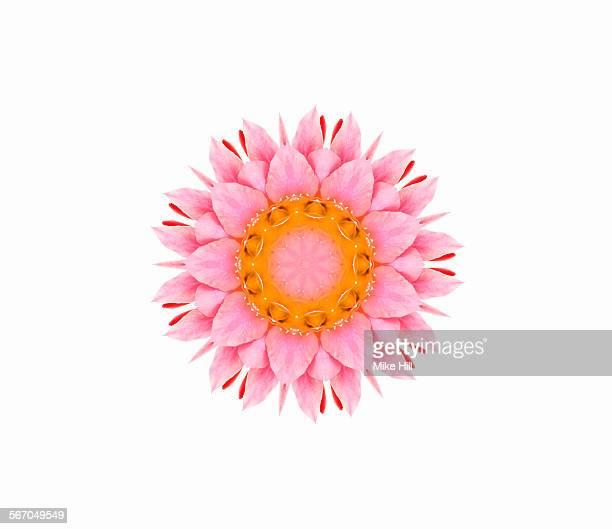 Epiphyllum flower against white background