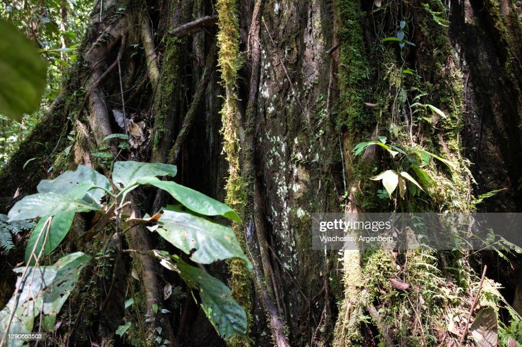 Epiphytes on tree wood, Tawau Hills, Malaysia : Stock Photo