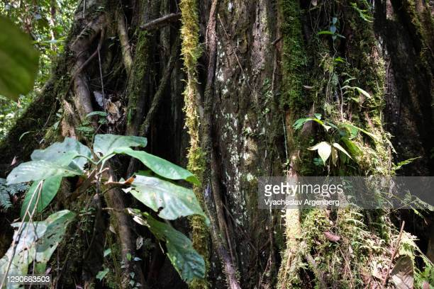 epiphytes on tree wood, tawau hills, malaysia - argenberg stock pictures, royalty-free photos & images