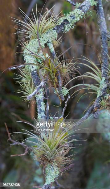 epiphytes or air plants in everglades national park, florida - ed reschke photography stock photos and pictures