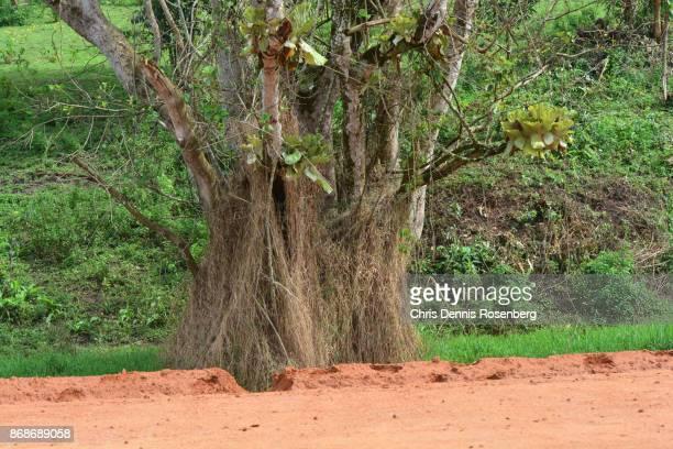 Epiphytic Elephant Ear Ferns On A Huge Strangler Ficus.