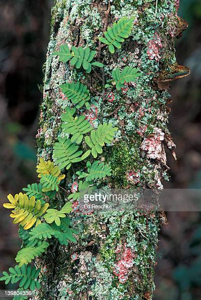 Epiphytic Resurrection Fern, Polypopium spp (Polypodioides) and red Baton Rouge Lichen growing on tree trunk, Florida, USA