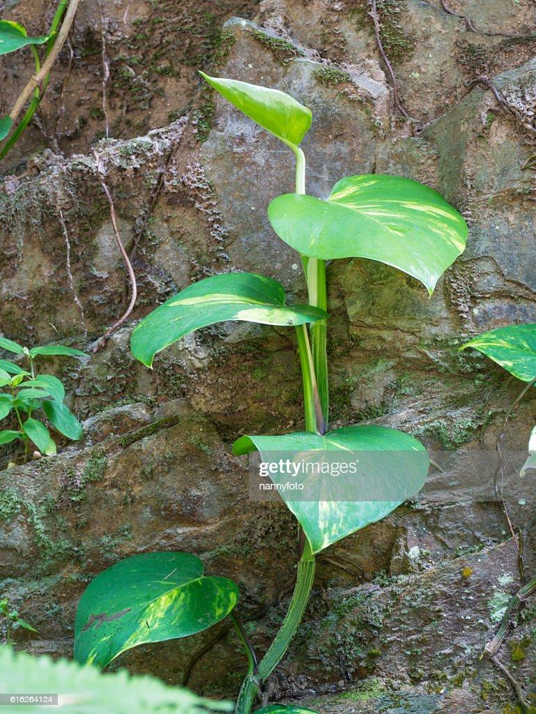Epipremnum aureum : Stock Photo