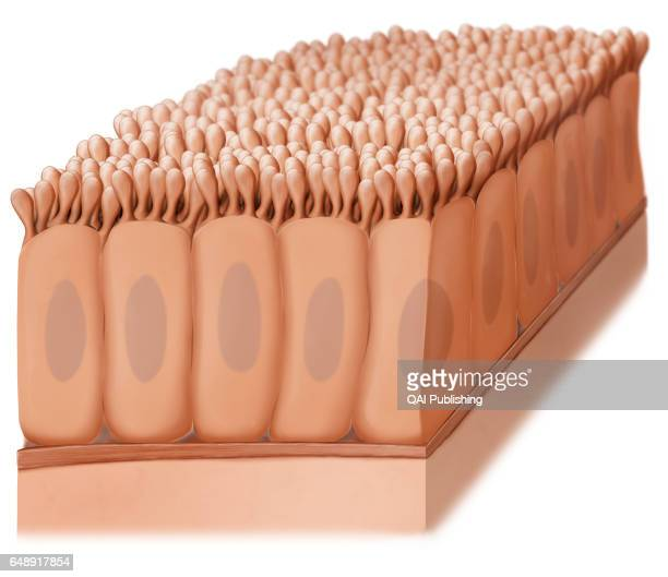 Epithelium Tissue formed of cells organized in layers it serves covering secretory and protective functions