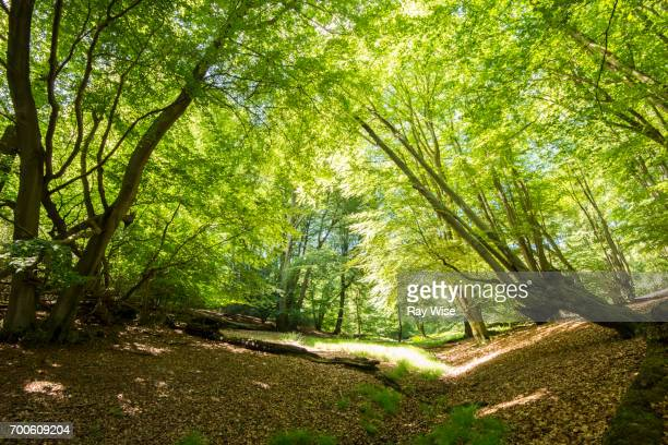 epping forest tree area with bright sunlight. - essex england stock pictures, royalty-free photos & images