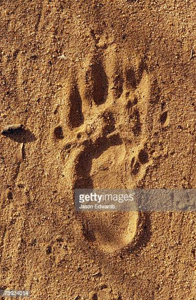 An endangered Northern Hairy-Nosed Wombat foot print track in sand.