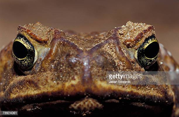 close-up of a scowling, grumpy, ugly cane toad's face. - cane toad stock pictures, royalty-free photos & images