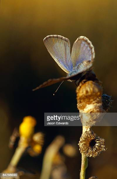 A Common Grass Blue Butterfly warming it's delicate wings at dawn.