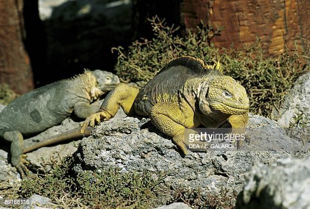 Equador Galapagos Islands Pagon Land Iguanas basking on rocks