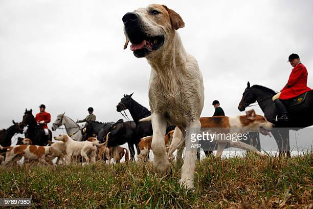 Equestrians and a group of beagles cross a field during a drag hunt in Meitze northern Germany on March 20 2010 Some 135 riders and about 100 dogs...