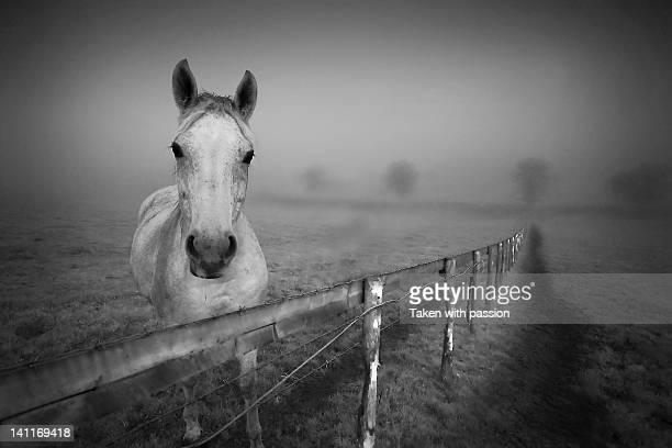 Equine fog