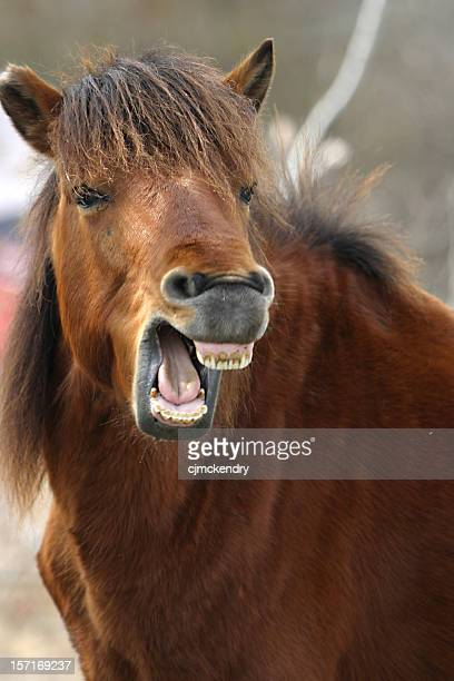 equine teeth - the laughing horse - rotten teeth stock photos and pictures