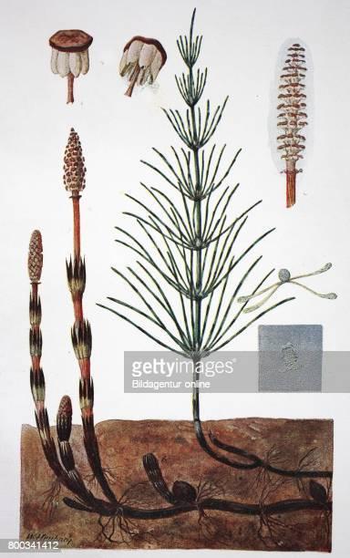 Equisetum arvense the field horsetail or common horsetail historical illustration 1880
