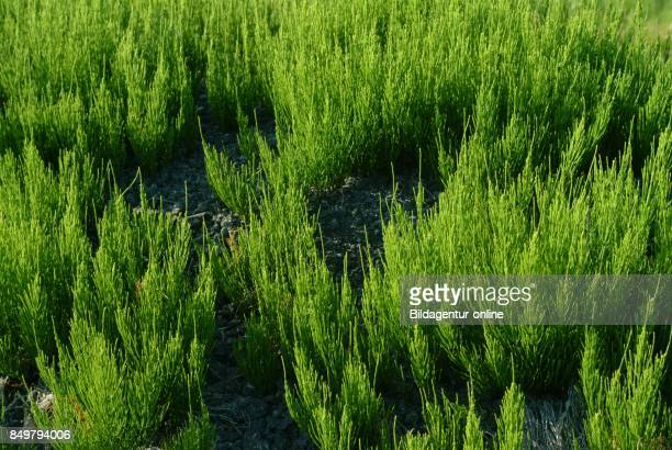 Equisetum Arvense The Field Horsetail or Common Horsetail Medicinal Plant Here As Ruderal Plant