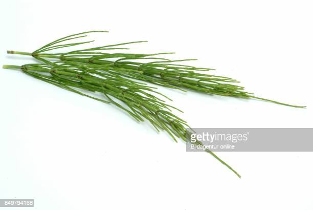 Equisetum Arvense The Field Horsetail or Common Horsetail Medicinal Plant