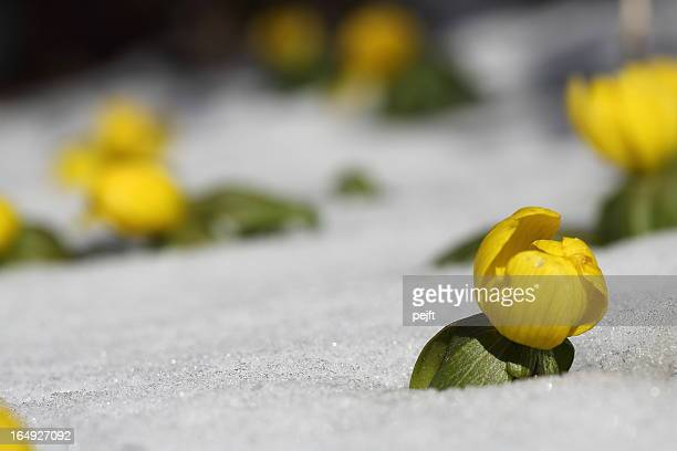 eranthis buttercup early spring flower in snow - pejft stock pictures, royalty-free photos & images