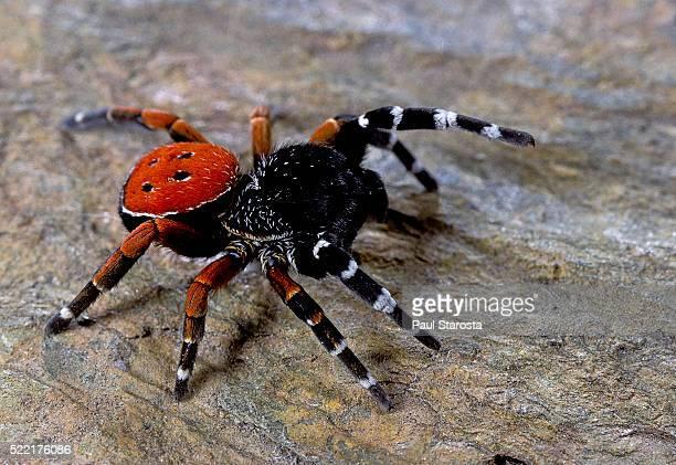 eresus cinnaberinus (ladybird spider) - male - spider fotografías e imágenes de stock