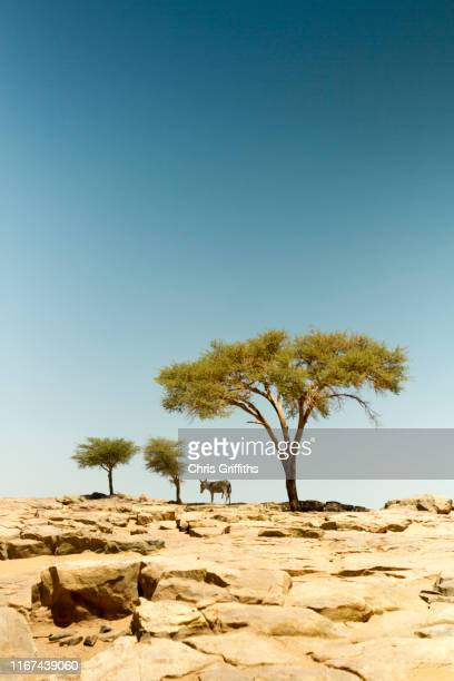 erg chigaga, sahara desert, southern morocco - donkey stock pictures, royalty-free photos & images