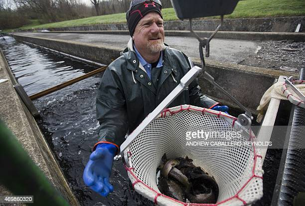 Eric Bittner the fish manager at the Albert Powell State Fish Hatchery carries a net with rainbow trout to a weighing scale in Hagerstown MD on April...
