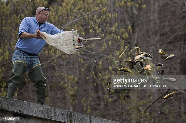 Eric Bittner the fish manager at the Albert Powell State Fish Hatchery releases a net full of trout into a river near Hagerstown Maryland on April 15...