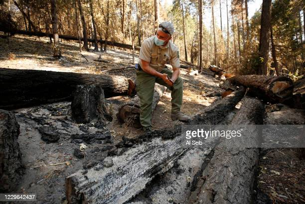 Eric La Price, Sequoia National Forest's Western Divide District ranger surveys damage in the Camp Nelson area not as severely burned by the Castle...
