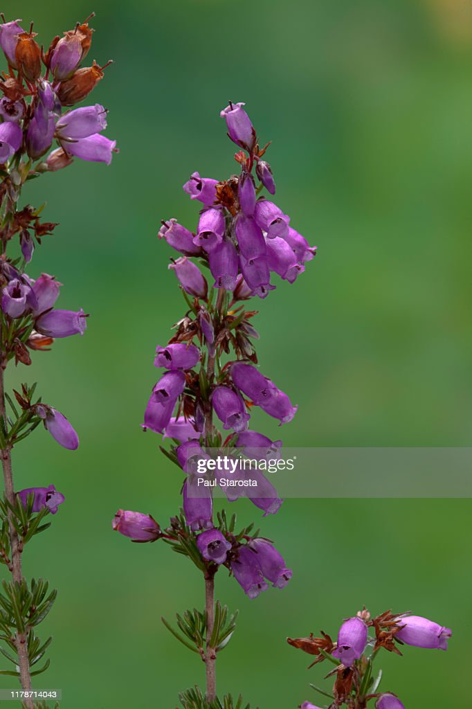Erica Cinerea Bell Heather Scotch Heath Gray Heath Twisted Heath High Res Stock Photo Getty Images