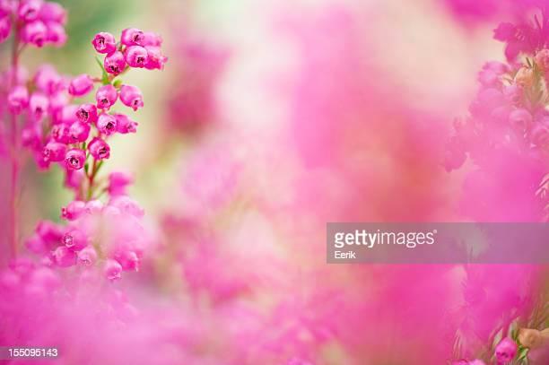 Erica heather flower