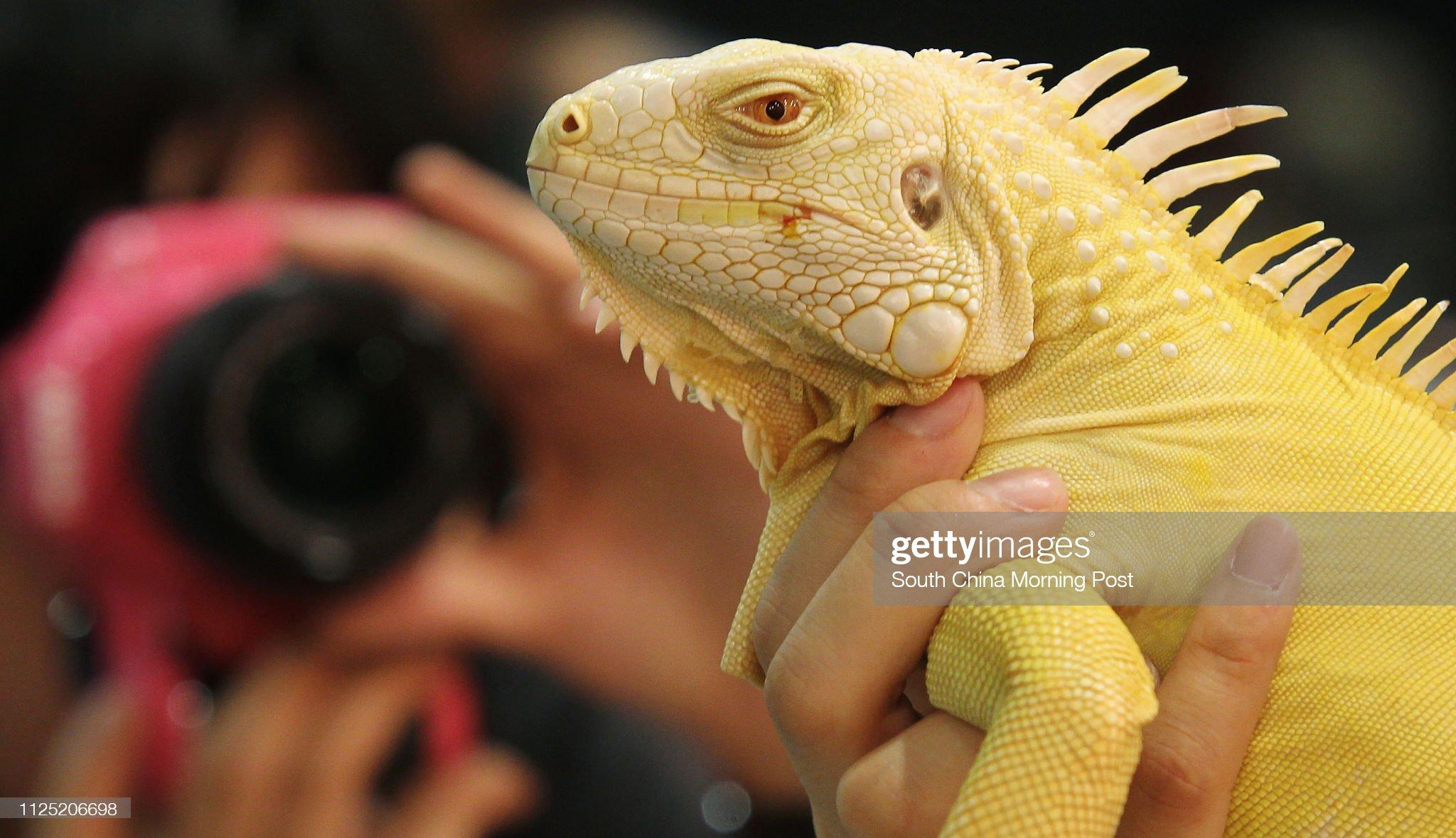 Эрика Ло показывает Альбино Игуана для СМИ во время Гонконгской международной выставки рептилий в Международном торгово-выставочном центре Коулун Бэй.  15 июля: Фото новостей