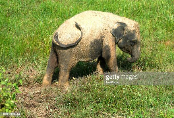 Erin fouryearold elephant Sumatran learned to live with a short trunk in Way Kambas National Park Lampung Indonesia on July 16 2018 The Sumatran...
