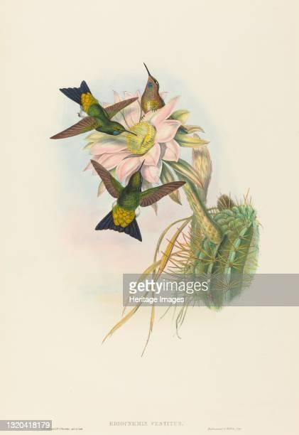 Eriocnemis vestitus . Artist John Gould, Henry Constantine Richter.
