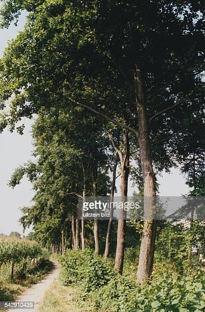 Erlen in einer Reihe Familie der Birkengewächse Aufgenommen Juli 1999